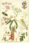 Source : https://commons.wikimedia.org/wiki/File:Marjoram-sage-mustard-etc.png